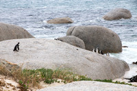 African penguins 1