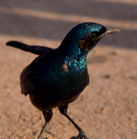 Burchell's Starling, South Africa